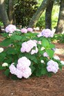 /Images/johnsonnursery/product-images/Hydrangea Penny Mac060309_744g7r24d.jpg