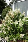 /Images/johnsonnursery/product-images/Hydrangea Pinky Winky072313_cwubv9vxj.jpg