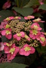/Images/johnsonnursery/product-images/Hydrangea Tuff Stuff Red_uq6st97tk.jpg