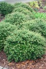 /Images/johnsonnursery/product-images/Ilex Schillings3080400_p3o6tjid6.jpg