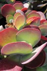 /Images/johnsonnursery/product-images/Kalanchoe Flapjacks2091813_n4do0zvaq.jpg