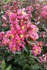 /Images/johnsonnursery/product-images/Lagerstroemia Coral Magic062716_6hd1ktb4a.jpg