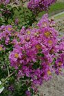 /Images/johnsonnursery/product-images/Lagerstroemia Royalty080116_b7046j9sl.jpg