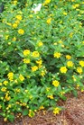 /Images/johnsonnursery/product-images/Lantana Capel Hill Gold072109_1772knvp4.jpg