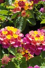 /Images/johnsonnursery/product-images/Lantana Landmark Rose Sunrise070813_1bbw37kx9.jpg