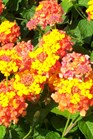 /Images/johnsonnursery/product-images/Lantana Miss Huff062300_3l9ajmzui.jpg
