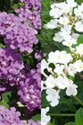 /Images/johnsonnursery/product-images/Lantana Trailing White Luscious Grape_coevr5r91.jpg