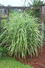 /Images/johnsonnursery/product-images/Miscanthus Cosmopolitan071102_w12463e53.jpg