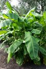 /Images/johnsonnursery/product-images/Musa Basjoo2071216_5xp8trlo1.jpg
