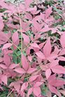 /Images/johnsonnursery/product-images/Nandina Obsession050216_o2mqs66eq.jpg