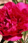 /Images/johnsonnursery/product-images/Paeonia Karl Rosenfield_sbwtfvv9e.jpg