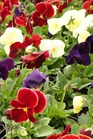 /Images/johnsonnursery/product-images/Pansy Delta Wine Cheese_fttap0bxx.jpg