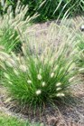 /Images/johnsonnursery/product-images/Pennisetum Cassian2080509_rk54tmug5.jpg