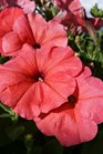 /Images/johnsonnursery/product-images/Petunia African Sunset5041117_464pp8qbe.jpg