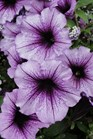 /Images/johnsonnursery/product-images/Petunia Bordeaux061412_5jaeh0e1c.jpg