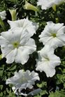 /Images/johnsonnursery/product-images/Petunia Easy Wave White2040913_kg2x1dgjw.jpg