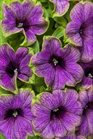 /Images/johnsonnursery/product-images/Petunia Supertunia Picasso in Blue_iajn7li7k.jpg