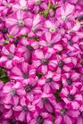 /Images/johnsonnursery/product-images/Petunia Supertunia Rose Blast Charm_kxq3aw9mq.jpg