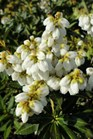 /Images/johnsonnursery/product-images/Pieris Prelude_2cjh44huc.jpg