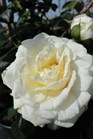 /Images/johnsonnursery/product-images/Rosa Cloud 10 2051613_i6tuh9ozh.jpg