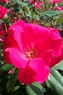 /Images/johnsonnursery/product-images/Rosa Knock Out4092607_r18xixbc7.jpg