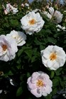 /Images/johnsonnursery/product-images/Rosa Milwaukees Calatrava4062716_4ow2tikfv.jpg