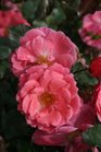 /Images/johnsonnursery/product-images/Rosa Oso Easy Pink Cupcake_43lzqbfvr.jpg