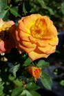 /Images/johnsonnursery/product-images/Rosa Sunrosa Orange Delight072816_i6aessdzw.jpg