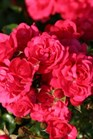 /Images/johnsonnursery/product-images/Rosa Toscana Vigorosa_44mva8p8o.jpg