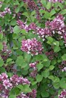 /Images/johnsonnursery/product-images/Syringa Bloomerang Dwarf Purple_zbaurrjnm.jpg