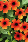 /Images/johnsonnursery/product-images/Thunbergia Arizona Glow_a8k7makkp.png