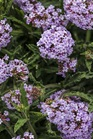 /Images/johnsonnursery/product-images/Verbena Meteor Shower_3un2g1w2x.jpg