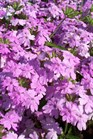 /Images/johnsonnursery/product-images/Verbena Superbena Large Lilac Blue042111_s5ll4va7t.jpg