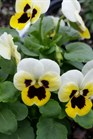 /Images/johnsonnursery/product-images/Viola Sorbet XP Lemon Ice Blotch2092116_n7t7sk9i3.jpg