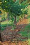 Addison Farms Vineyard - 3